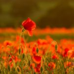 Poppy Field by Linda Kent