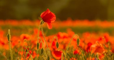 Poppy Field by Linda Kent