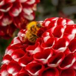 Red Dahlia with bumble bee by Vivien Smith