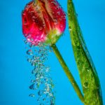 Watery Tulip by Kerry Turner