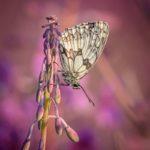 Marbled White on Rosebay Willowherb by Kathryn Graham
