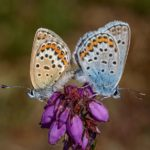 Mating Silver Studded Blues by Kathryn Graham