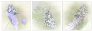 Views of Roosting Marbled Whites by Kathryn Graham