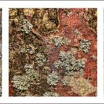 Lichen on bark by Lesley Taylo