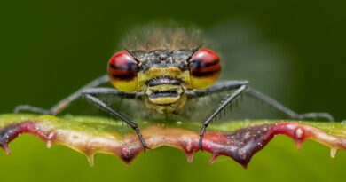 Large Red Damselfly by Lesley Taylor