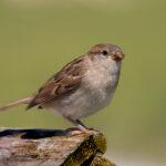 Fledgling Sparrow by John Sturgeon