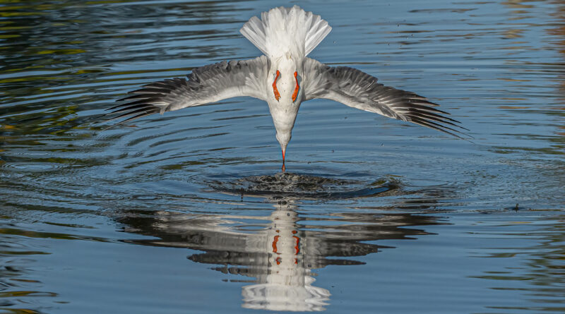 Black headed Gull Diving by Vivien Smith