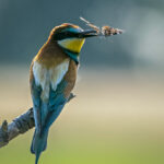 Bee Eater with Butterfly by Sally Seager
