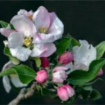Apple Blossom by Clare Edwards