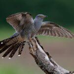 Common Cuckoo Landing by Ian Newell