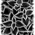 Coleus Patterns by Wendy Collens