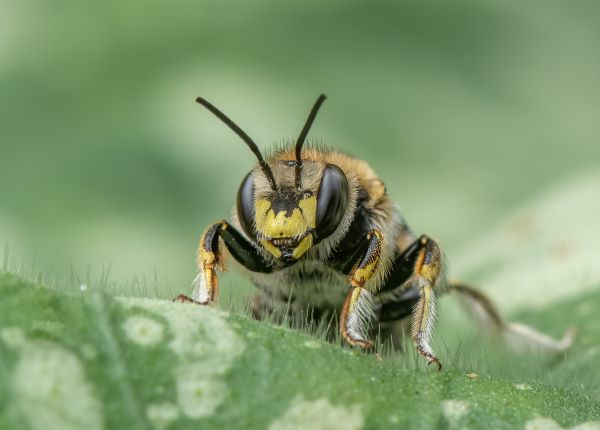 Wool Carder Bee by Lesley Taylor
