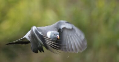 Low flying pidgeon in the rain by Gert Svanberg