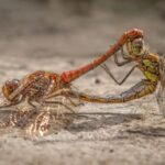 Mating Common Darters by Lesley Taylor