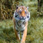 Sumatran Tiger by Naomi Ward