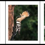 Hoopoes with Food by Sally Seager